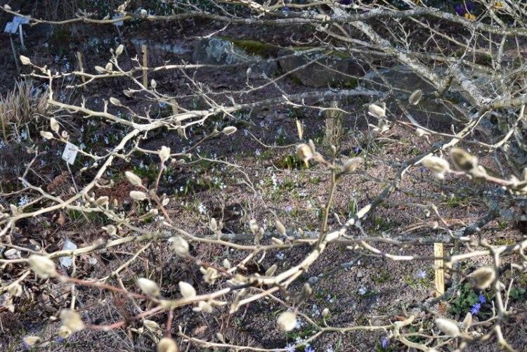 Magnolian oksia