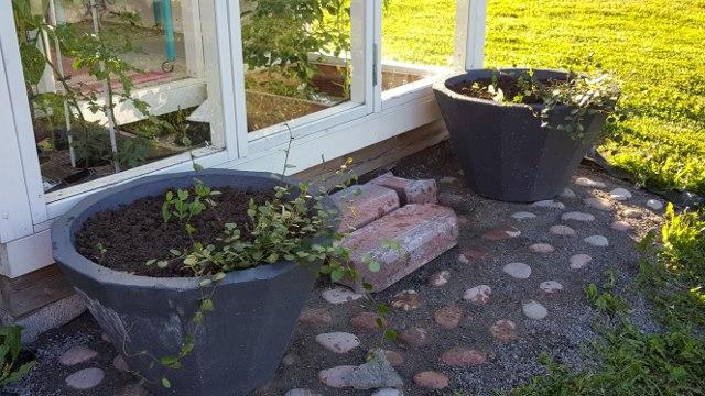 kasvihuoneen edustan kiveys on myös laitettu tänä keväänä
